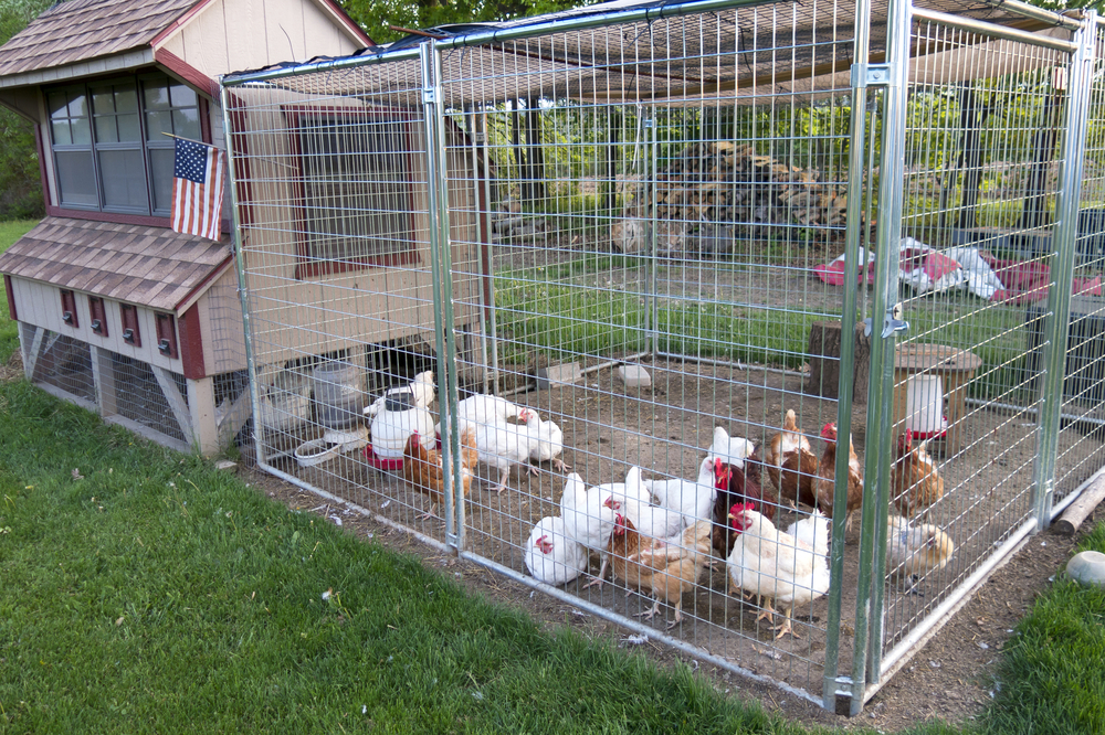 Managing predators with a small or backyard poultry flock