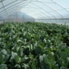 Response of 'Hi-Crop' hybrid collards to Three Different Leaf Harvesting Methods grown in a Tunnel House