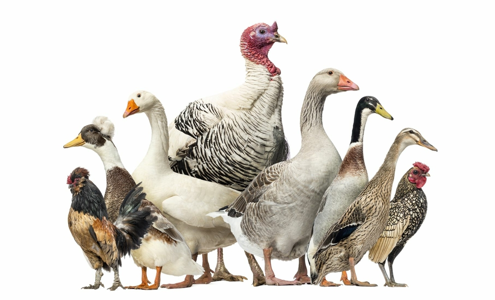 Managing a multi-species poultry flock