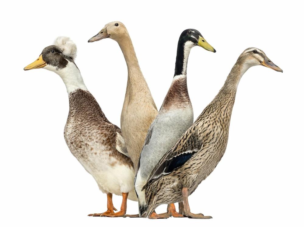 Raising ducks for egg production