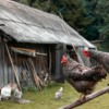 Heavy metals - are they a concern for backyard poultry flocks?