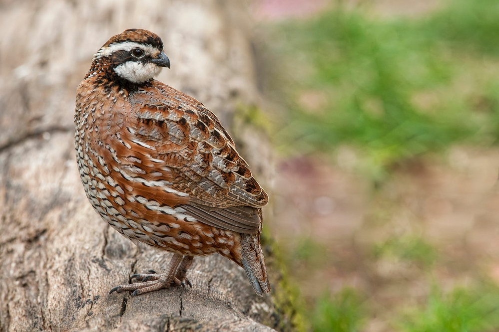 Raising quail for meat production or release
