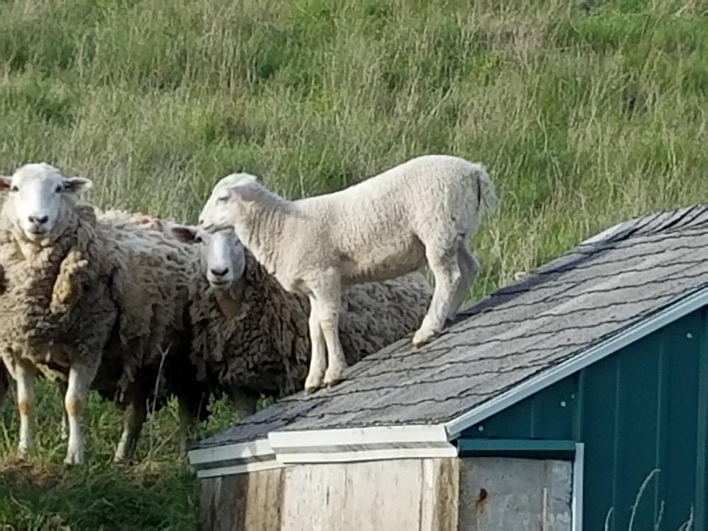 Basic Lambing Skills for the Beginning Shepherd
