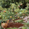 How To Prune Fruit Trees For Maximum Yields