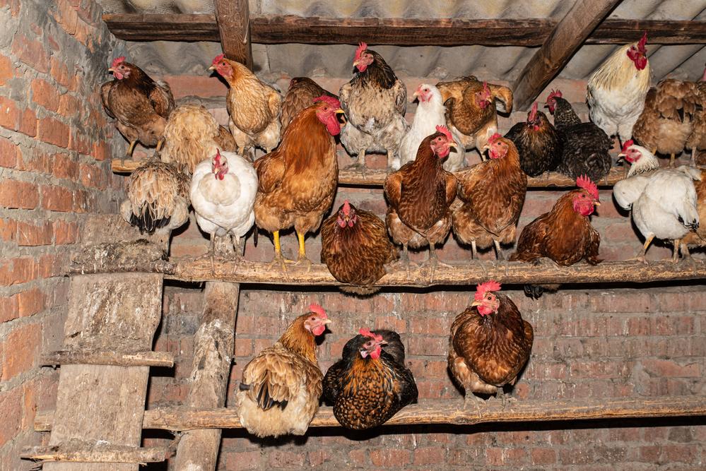Composting backyard poultry manure